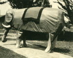 Students in elephant costume, Pomona College