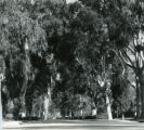 College Avenue, tall trees, Pomona College