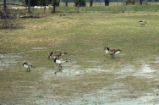 Canada and barnacle geese