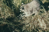Northern raccoon and ripgut brome
