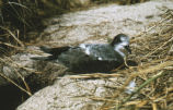 Bonin islands petrel