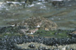 A Black turnstone and a ruddy turnstone