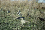 Long-billed curlews, willets, and dowitchers