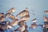 Long-billed curlews, dunlins, willets and dowitchers