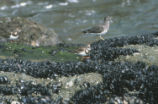 Two ruddy turnstones and  surfbird