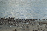 Least sandpipers, western sandpipers, and dunlins