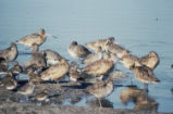 Godwits, willets, dowitchers, and dunlins