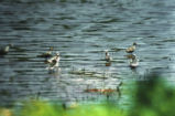 Group of Wilson's phalarope