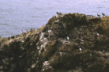 Common murre colony and western gulls