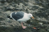 Western gull eating a mussel