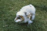Barn owl chick in defense position