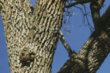 Acorn woodpecker holes in tree