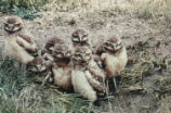 Immature burrowing owls