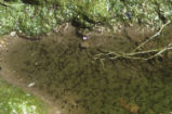 Red-spotted toad tadpoles
