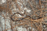Northern coral snake