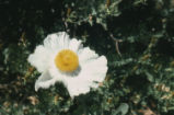 Bristly Matilija poppy