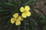 Yellow eveing primrose