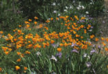 California poppy and irises