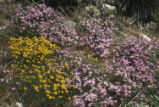 California prickly phlox and golden-yarrow