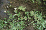 White water crowfoot and duckweed