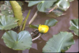 Yellow pond-lily