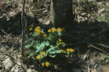 Yellow marsh marigold
