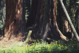 Giant sequoia and deer