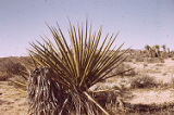 Mojave yucca and pricklypear cactus