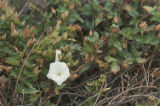 Island false bindweed