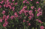 Purple mountainheath