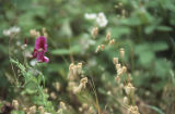 Beach pea and rattlesnake brome