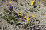 Mojave lupine, leafstem tickseed, desert evening primrose, and purplemat