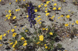 Mojave lupine, leafstem tickseed, and desert evening primrose
