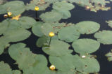 Varigated yellow pond-lily
