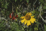 Western lily and coastal sneezeweed