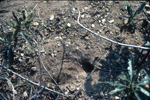 California kangaroo rat burrow