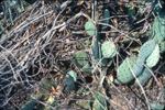 Woodrat nest in pricklypear