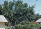 Healthy elm tree