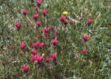 Lemmon's Indian paintbrush