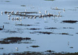 Avocets and other birds