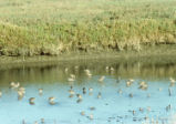 Dowitchers and Least sandpipers