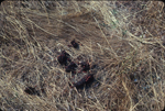 Coyote droppings with coffeeberry seeds