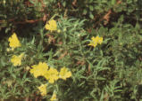 Yellow sticky monkeyflower