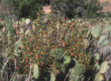 Red bush monkeyflower