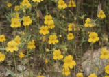 Widethroat yellow monkeyflower