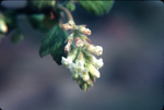 Whiteflower currant