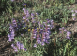 Smoothleaf beardtongue