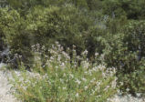Grinnell's beardtongue