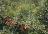 San Gabriel beardtongue