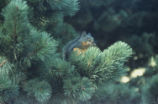 Douglas squirrel and beach pine